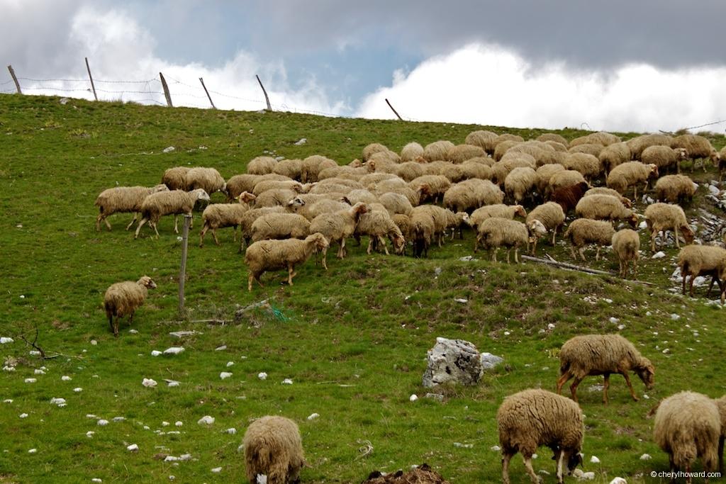 Monti Sibillini National Park Sheep