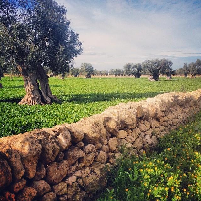 Puglia Olive Trees