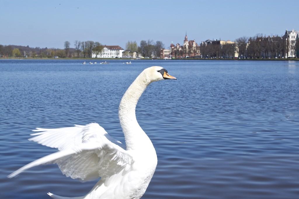 Schwerin Photos - Swan at Pfaffenteich