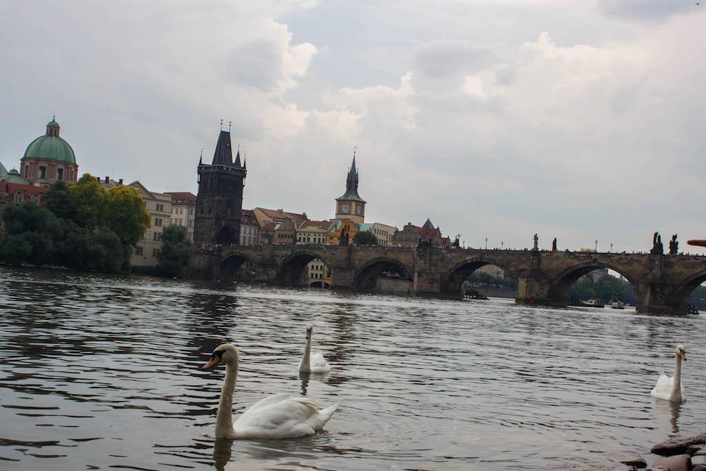Prague Photos - River with Swans