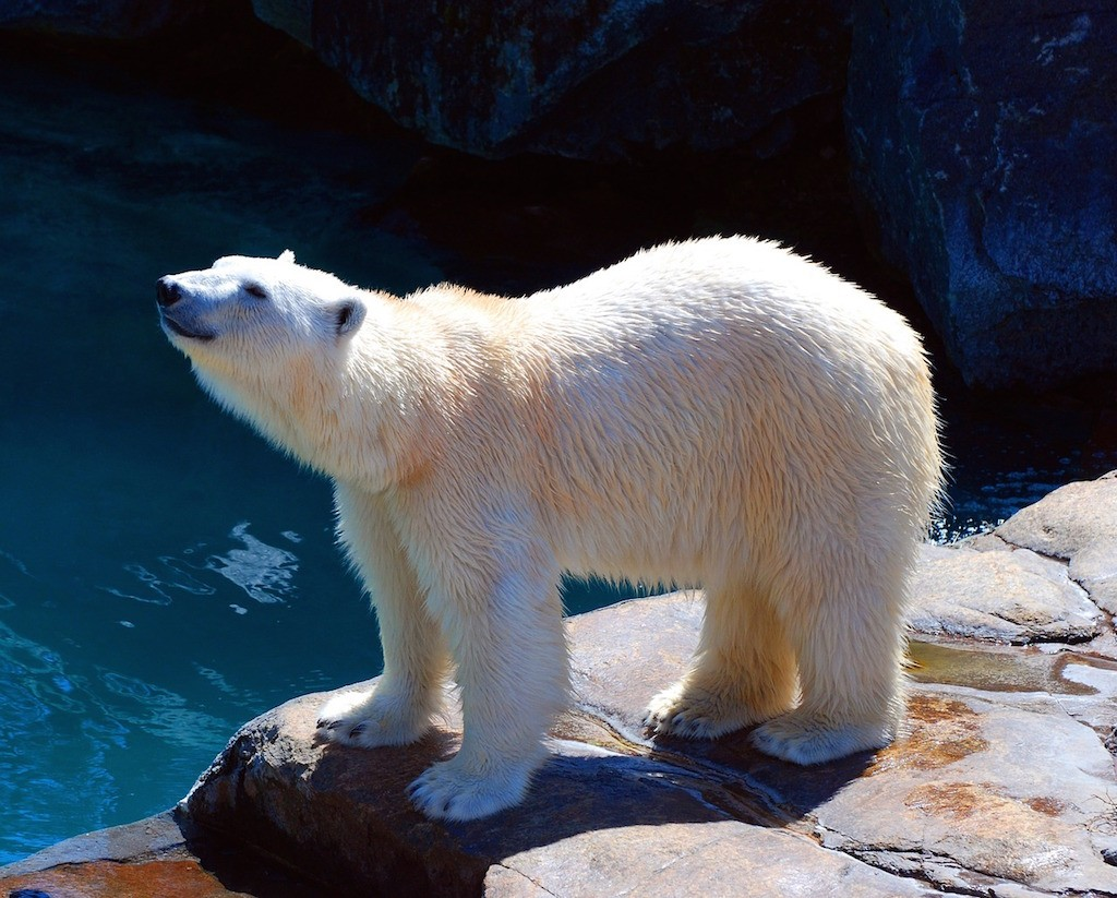 What You Need to Know Before You Travel to Canada - Polar Bear