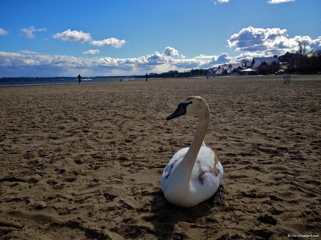 Sopot Poland Swan