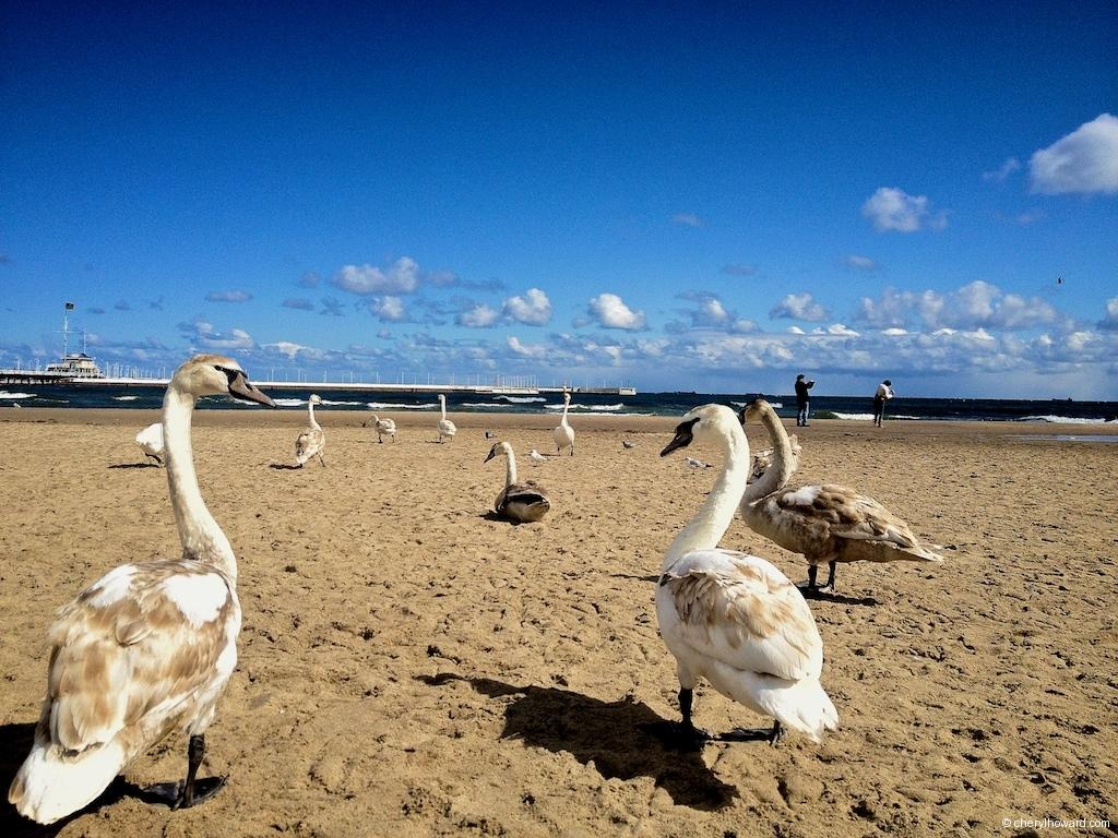 Sopot Swans