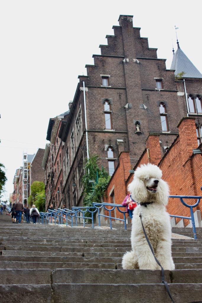 Montagne De Bueren - Dog posing